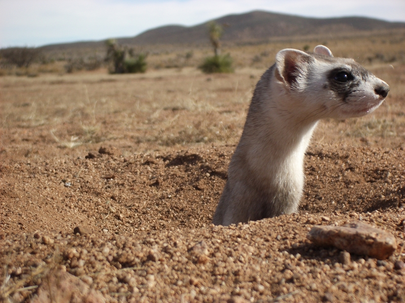 Prairie Dog Of The Janos Region Chihuahua Northern Mexico