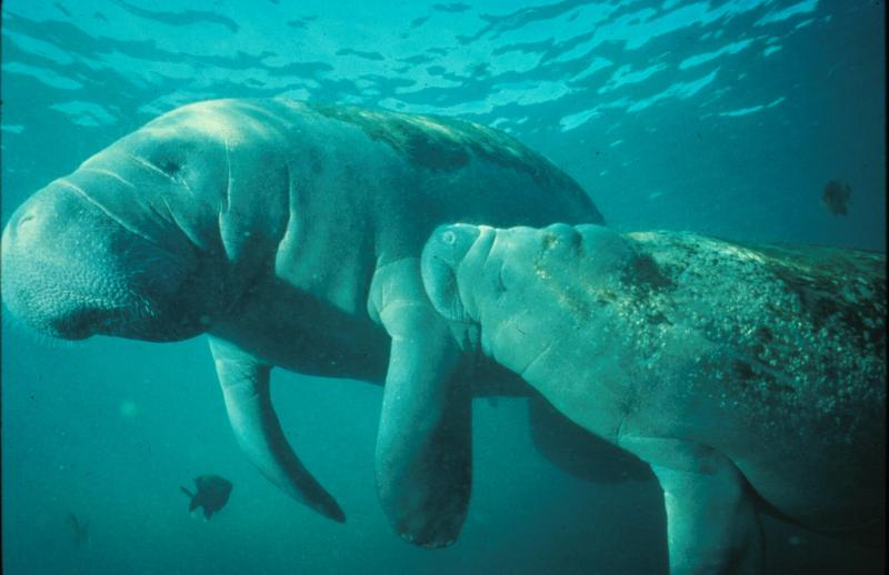 a look at the habitat of the west indian manatees Manatees inhabit the shallow, marshy coastal areas and rivers of the caribbean sea and the gulf of mexico (t manatus, west indian manatee), the amazon basin (t inunguis, amazonian manatee), and west africa (t senegalensis, west african manatee.
