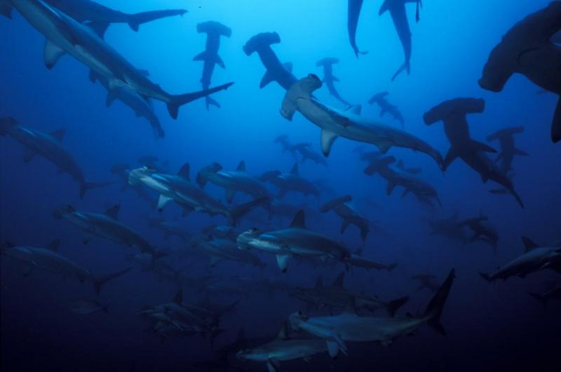 Shark conservation in the Malpelo World Heritage Site